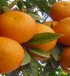 مصر تنافس على قمة صادرات البرتقال في العالم