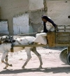 العربجى .. مهنة ضد الانقراض