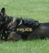 الكلاب البوليسية .. 85 عاماً فى خدمة الميرى