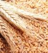 رويترز: مصر توافق على نسبة لا تزيد عن 0.05% من فطر الإرجوت فى القمح