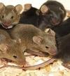 مفاجأة .. الفئران بريئة من نشر وباء الطاعون