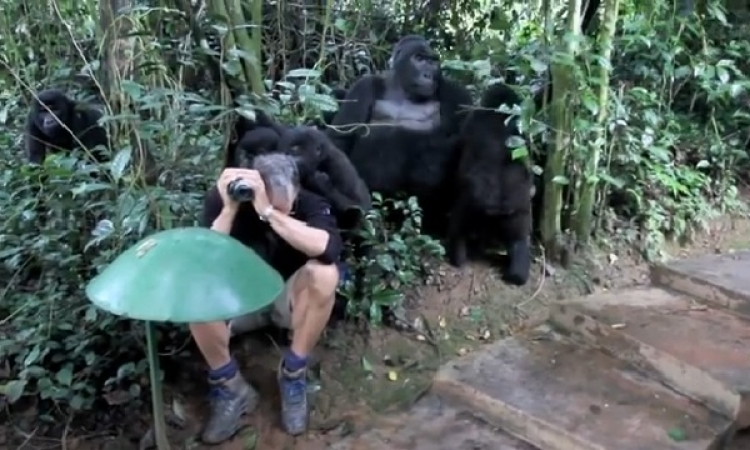 شاهد بالفيديو … مجموعة من الغوريلات البرية تصادق مصور وتقبله