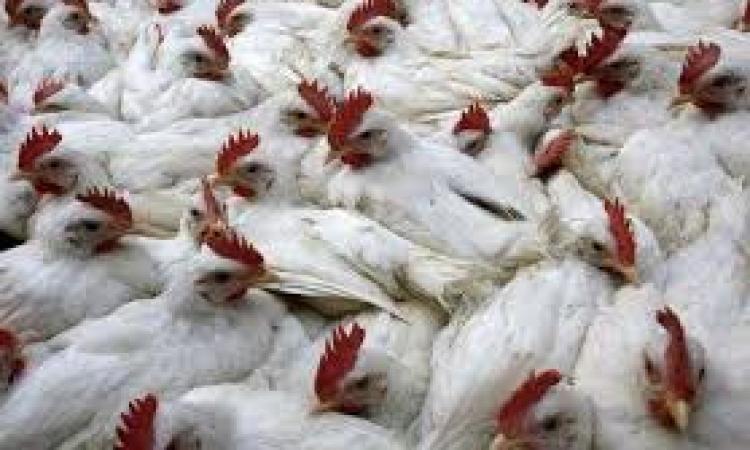 تحصين ثلاثة آلاف طائر بعد اكتشاف أول إصابة بانفلونزا الطيور في دمياط
