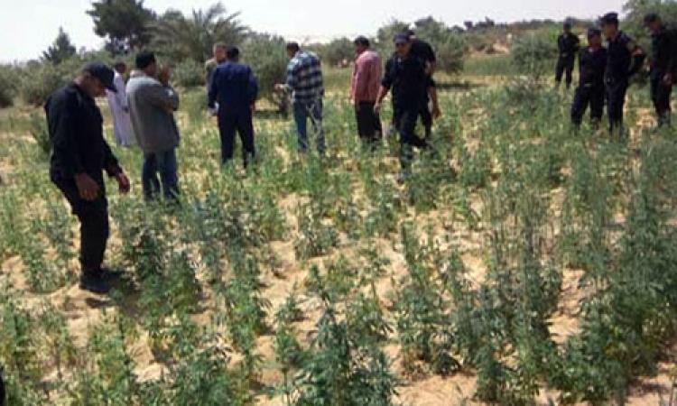 «مكافحة المخدرات»: ابادة ٧ أفدنة مزروعة بانجو في الإسماعيلية