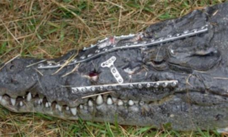 وزنها 120 كيلوجراماً.. سمينة تقع على تمساح فتصيبه بحروح خطيرة وقيء لـ3 ساعات