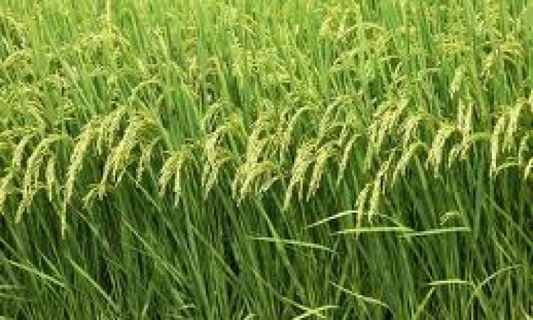 بالفيديو.. وزارة الري: حظر زارعة الأرز بوسط وجنوب الدلتا والوجه القبلي