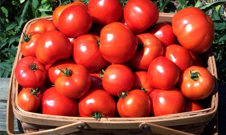 صدق أو لا تصدق .. تصنيع سيارة من ألياف الطماطم !!