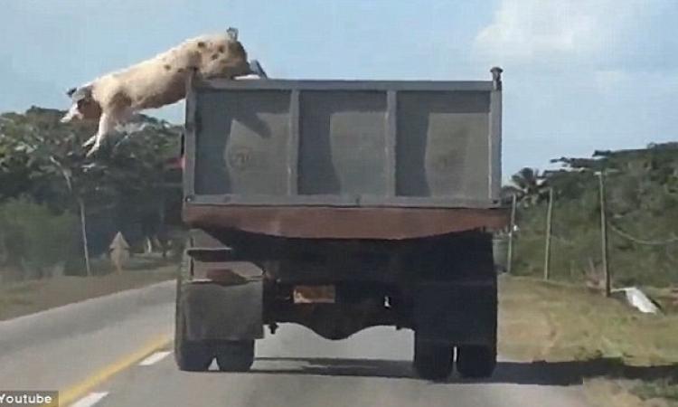 بالفيديو .. خنزير بري يتجنب المسلخة بقفزة هوليوودية
