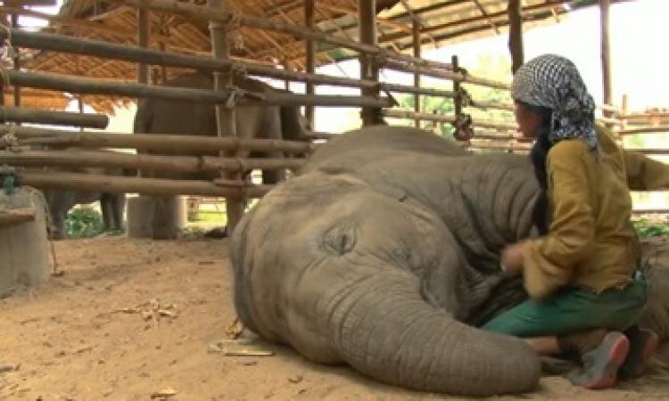 بالفيديو .. فيل صغير في سابع نومه وبيشخر !!