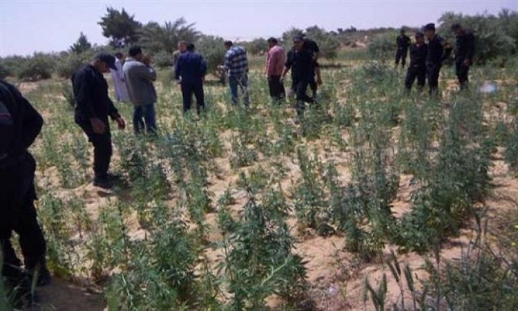 بالفيديو إبادة 32 فدان بانجو وخشخاش وضبط 2.5 طن بانجو جاف و200 ك بذور خشاش بسيناء
