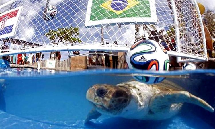 بالفيديو .. سلحفاة تتوقع فوز البرازيل على كرواتيا في افتتاح المونديال