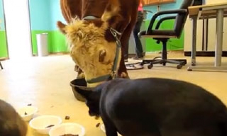 صدق أو لا تصدق… مرض نفسي يجعل البقرة  تعتقد انها كلبة