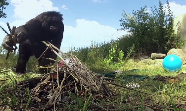 شمبانزي يكوّن عبارة من كلمتين.. ويستطيع أن يطبخ ويعزف