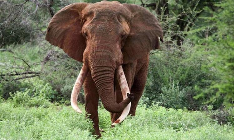 """مقتل """"ساطاو"""" أكثر فيل محبوب بعد أن قتله صيادون من أجل أنيابه الشهيرة"""