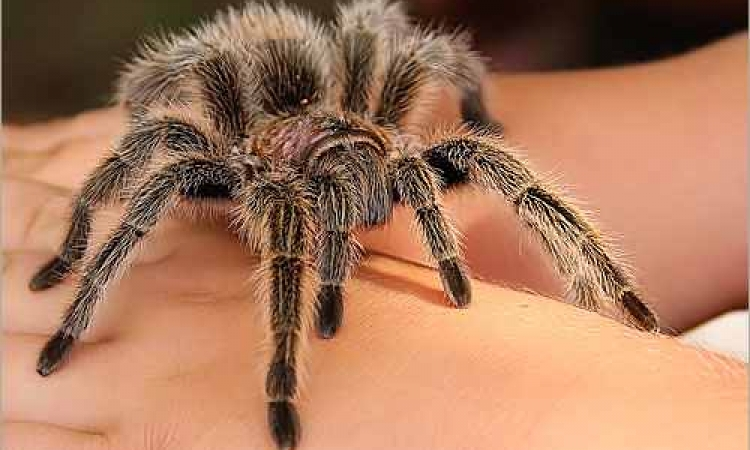 العنكبوت لديه القدرة على الانقضاض على فريسته الأكبر منه