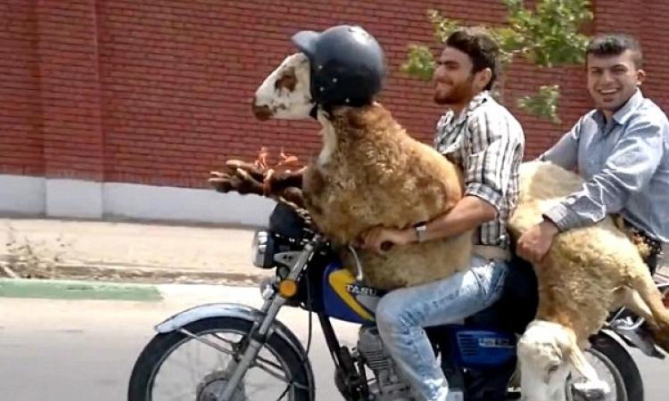 بالفيديو.. شابان يتنزهان بنعجتيهما على الدراجة