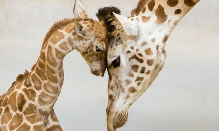 ملف مصور .. الأمومة في عالم الحيوان