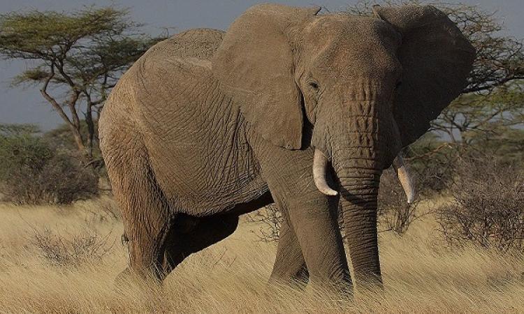 الأفيال الأفريقية تتفوق على الكلاب البوليسية فى حاسة الشم