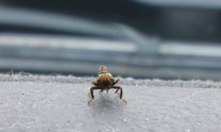 بالفيديو .. حشرة تقوم بالرقص لإلهاء قاتلها !!