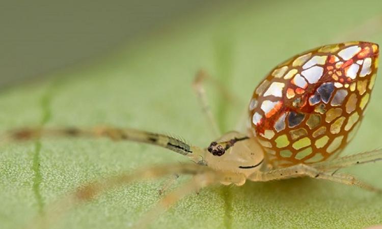 بالصور .. عناكب شفافة نادرة شبيهه بالمجوهرات الزجاجية