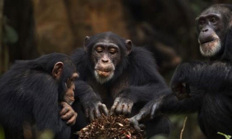 دراسة هولندية : الشامبانزى يقلد غيره تلقائيا !!