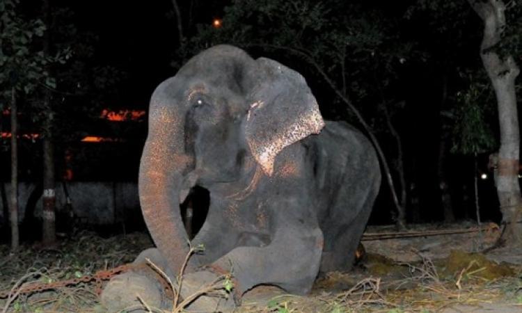 فيل يبكي فرحا لإنقاذه من التعذيب بعد 50 عام
