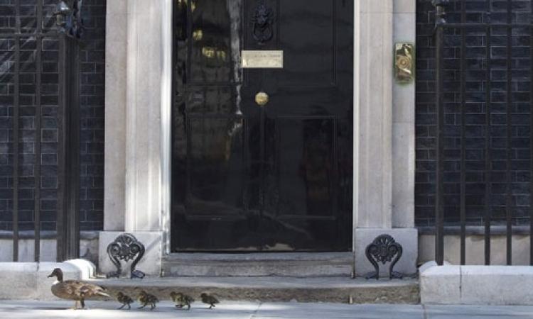 بطة وصغارها يزورون رئاسة وزراء بريطانيا