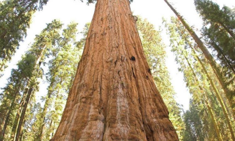 أطول شجرة في العالم  بكاليفورنيا