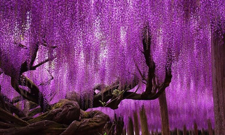 ملف مصور .. أروع وأجمل وأعجب الأشجار على مستوى العالم