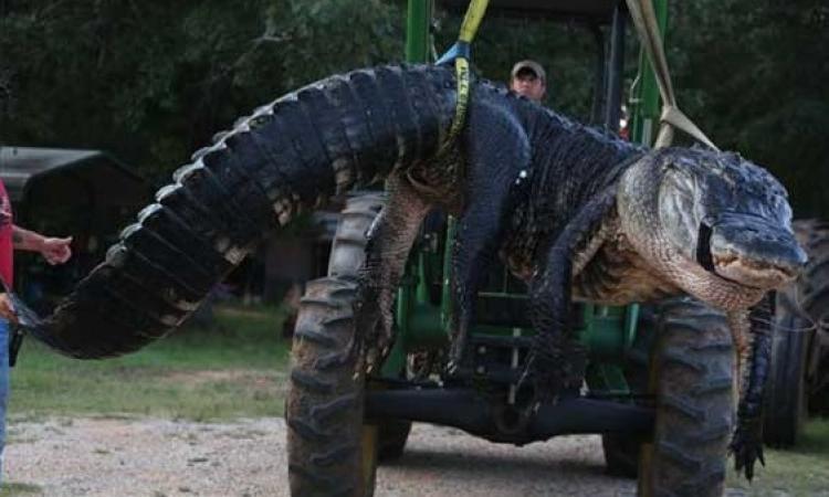 بالصور .. عائلة أمريكية تمسك بأكبر تمساح في العالم