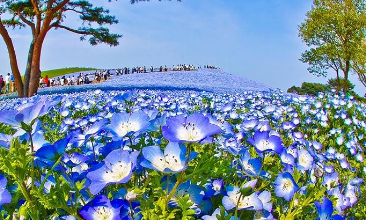 حديقة هيتاشى اليابانية .. سحر الطبيعة وسط ملايين الورود الخلابة