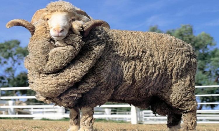 نصائح  شراء خروف العيد