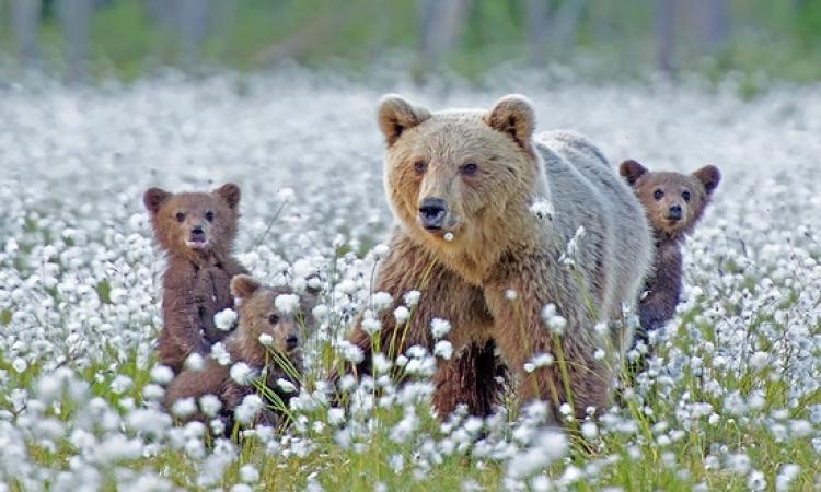 بالصور .. تعرف على مشاعر الامومة في عالم الدببة