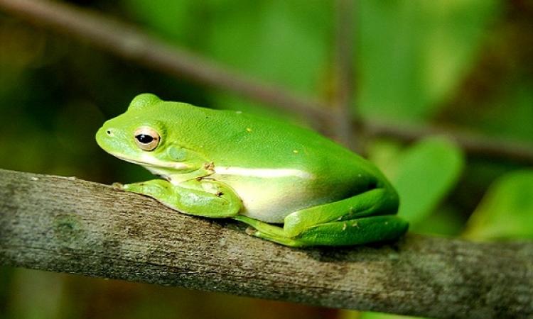 عقار مستخلص من الضفادع الخضراء يقوى الإنسان ويعزز السمع والبصر