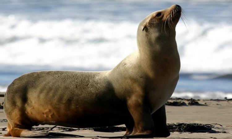 فوكس نيوز : عجل البحر السبب في انتشار السل فى العالم