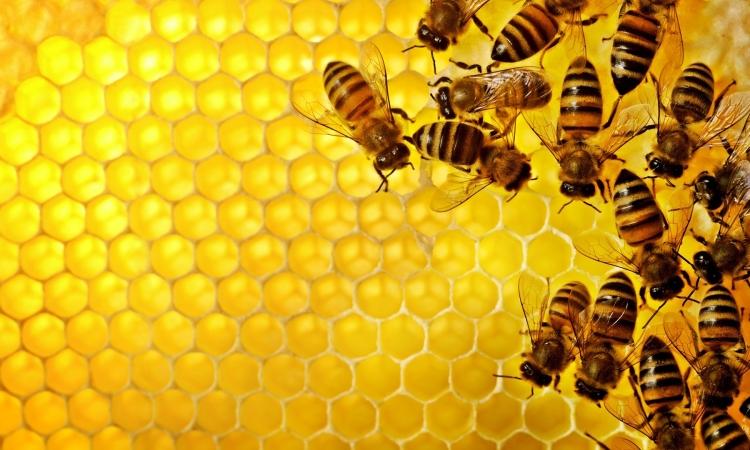 «النحل» مصنعًا للمضادات الحيوية لفيروس الأنفلوانزا والهربس