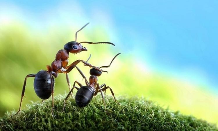 بهذه الطريقة يصطاد النمل الفريسة.. اتعلم منه