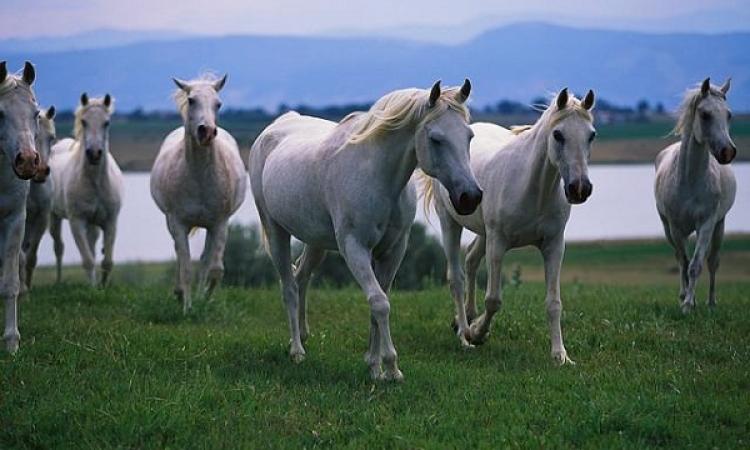 الخيول تتواصل بلغة العيون وحركات الأذن