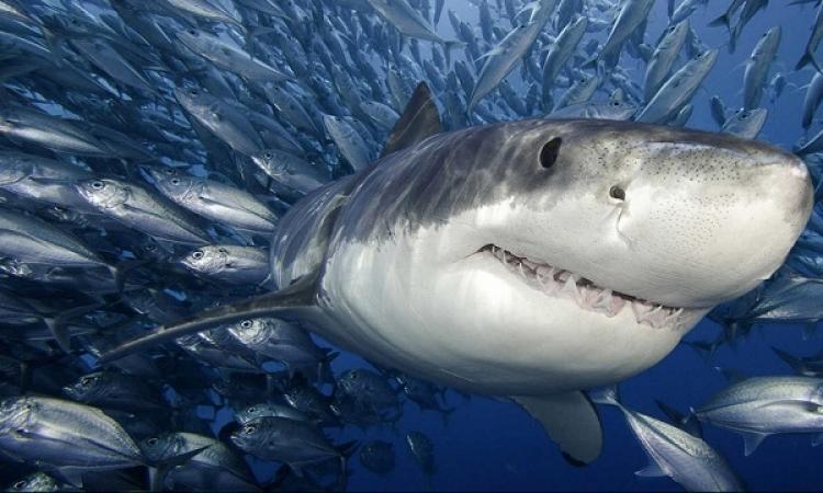 بالفيديو .. القرش المفترس يظهر بكثافة فى إيلات بإسرائيل