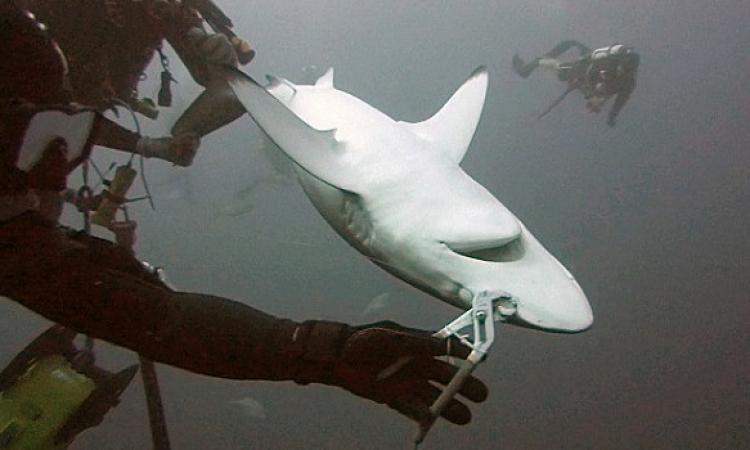 بالفيديو .. غواصان ينقذان سمكة قرش من الموت