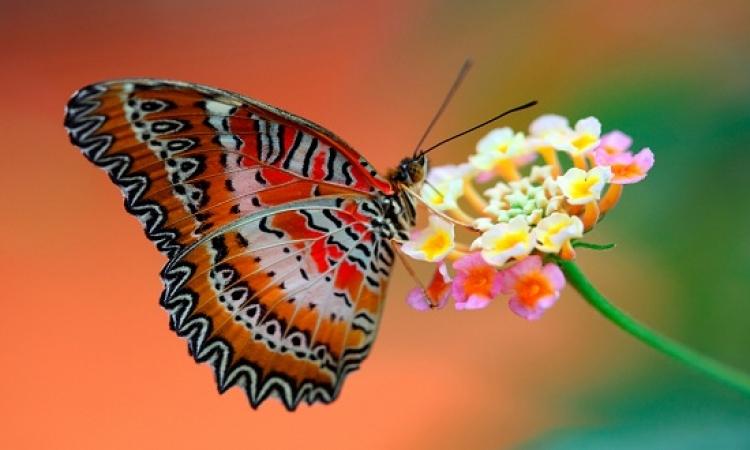 بالصور .. رحلة إلى عالم الفراشات الساحرة بألوانها ونقوشها المدهشة !!