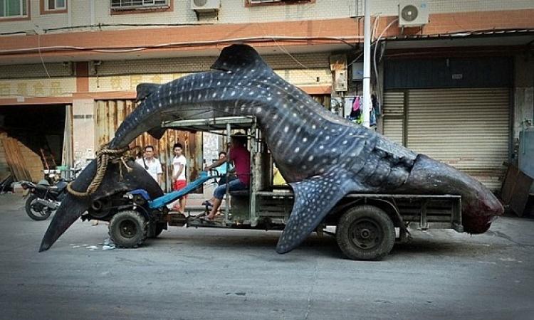 بالصور .. قرش الحوت يتجول في شوارع الصين