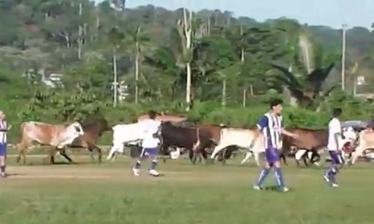 بالفيديو .. قطيع أبقار يقتحم ملعب كرة قدم