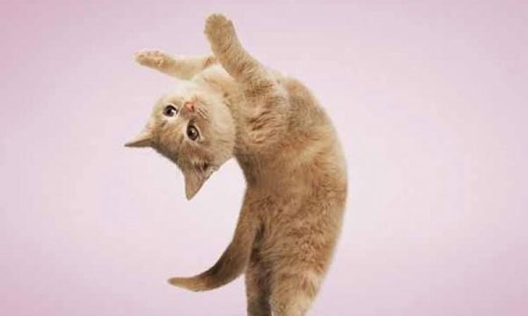 بالصور .. قطط تتحدى لاعبي الجمباز بحركات بهلوانية طريفة