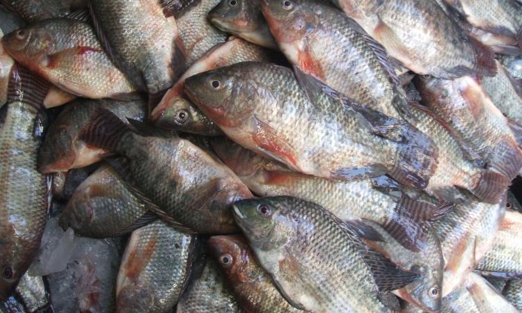 وزارة الزراعة: مشروع تنمية قناة السويس يدعم الثروة السمكية فى سيناء ويجذب المستثمرين