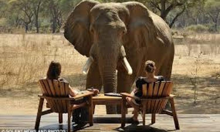 بالفيديو ..فيل غاضب يهاجم سيارة سياح ويقلبها