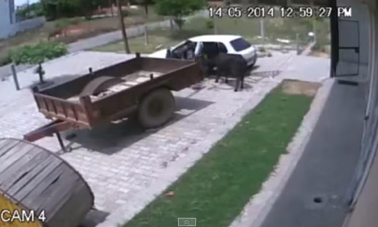 بالفيديو.. هنود يسرقون بقرة ويضعونها في سيارة صغيرة