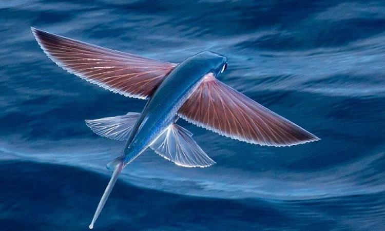 صدق أولا تصدق .. أسماك لها أجنحة وتطير مثل الطيور