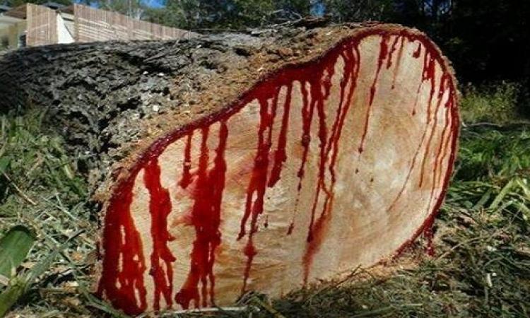 صدق أولا تصدق .. شجرة تنزف دماً .. تعرف عليها