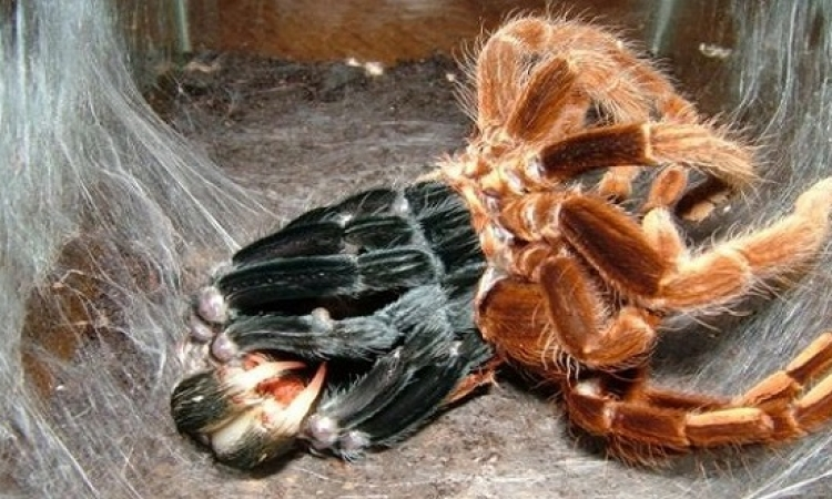 اكتشاف العنكبوت الأكثر سمية فى العالم بجنوب لندن